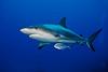 Bahamas Sharks and Dolphins - 2009 :